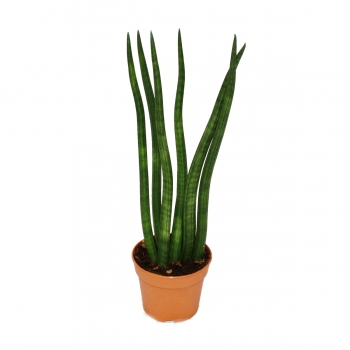Sansevieria cylindrica – Flame – 12cm Topf