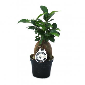 Ficus microcarpa Ginseng – Lorbeerfeige – 9cm Topf
