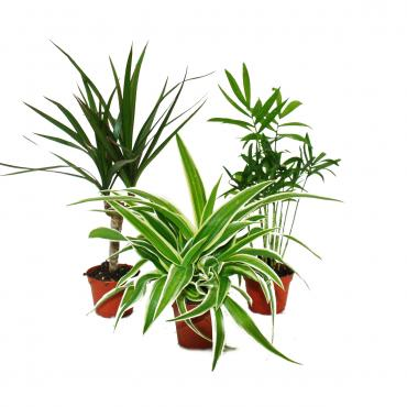 3er set mini gr npflanzen 6cm topf dracaena chlorophytum chamaedorea exotenherz. Black Bedroom Furniture Sets. Home Design Ideas