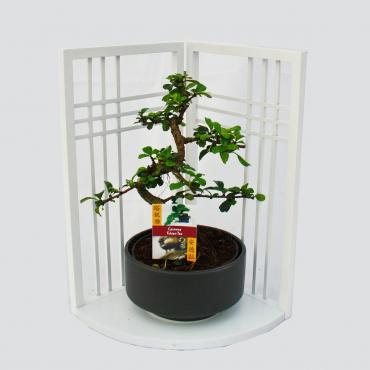 Bonsai – Carmona microphylla auf Asia-Paravent – dekoratives Set – weiss