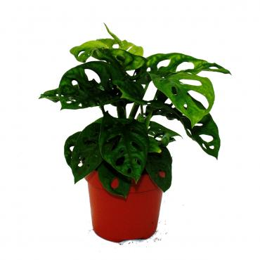 "Fensterblatt – Monstera deliciosa ""Monkey Mask"" – 12cm Topf"