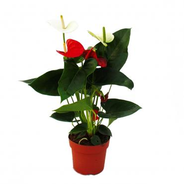 "Flamingoblume ""Sierra Red & Sierra White"" TWINS Rot/Weiss 14cm Topf Anthurium andreanum"