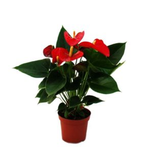"Flamingoblume ""Sierra Red"" rot Anthurium andreanum 14cm"